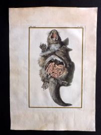 Buffon 1768 Antique Hand Col Print. Rodent Anatomy 7-12